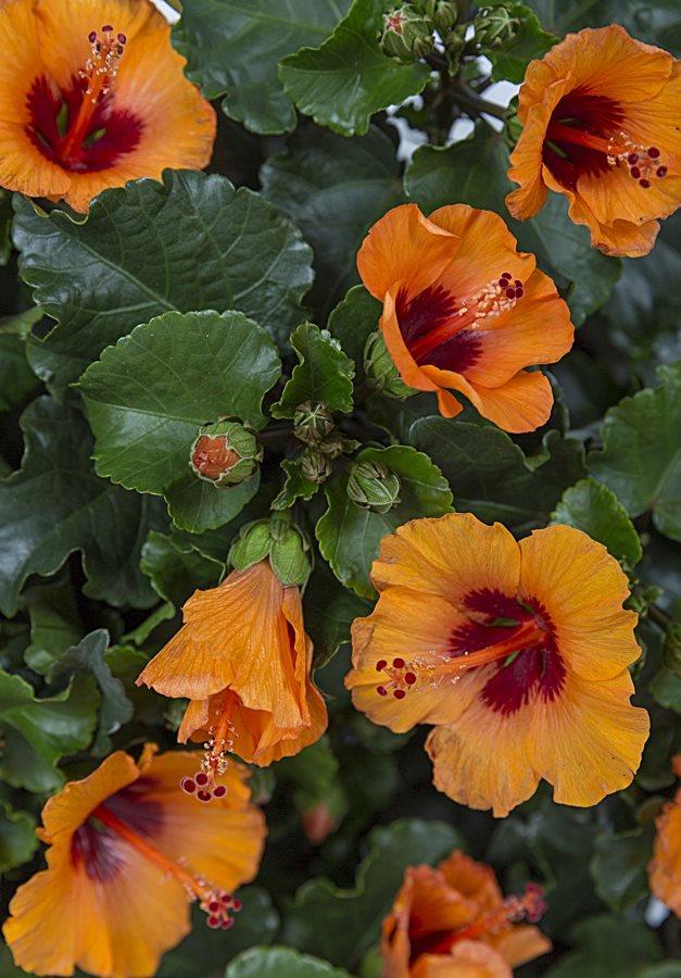Hibiscus Rosa Sinensis HibisQs Petit Orange (u0027Petit Orangeu0027)