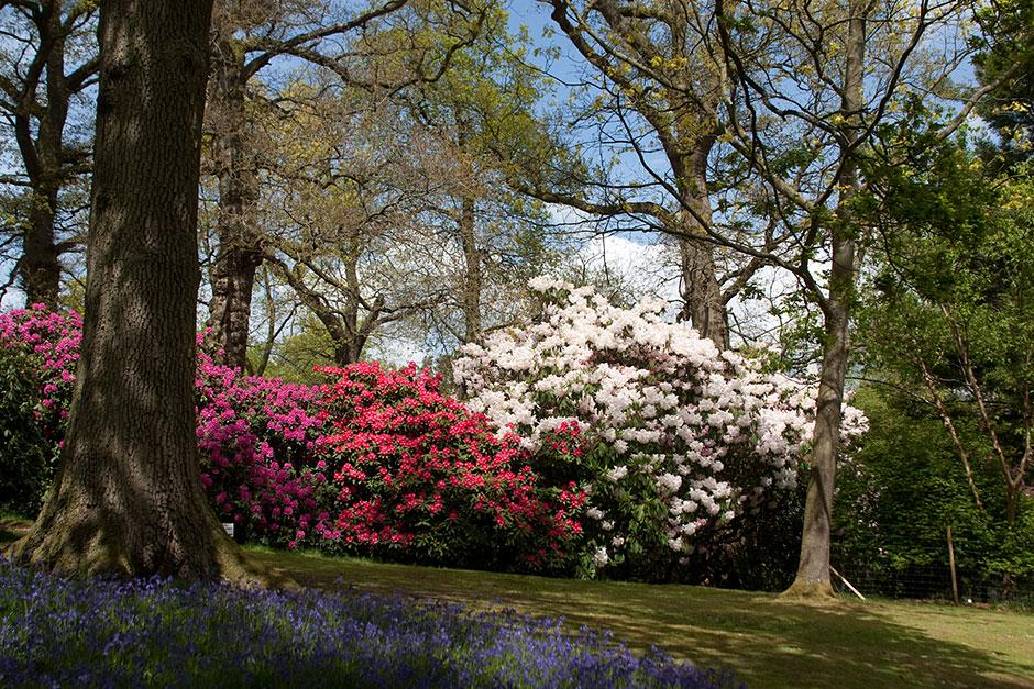 Rhododendrons at Bowood