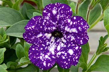 new petunias arrive in our garden centres catalogues and on websites every year larger flowered or smaller flowered neater and bushier or vigorous ground