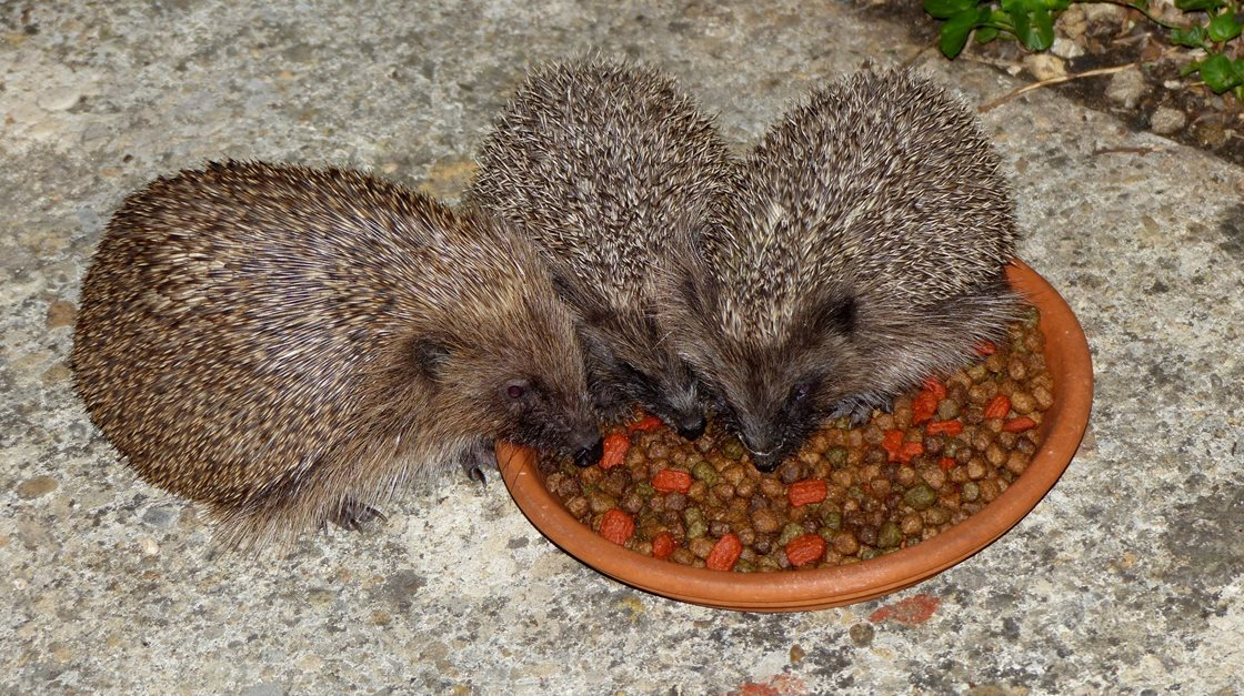 The hedgehog family eats together