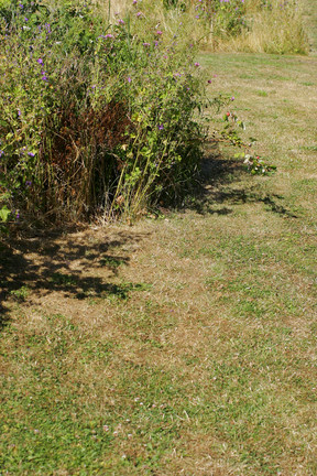 Lawns: dry patch