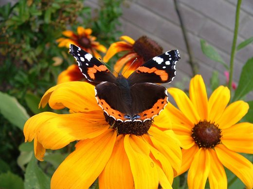 A red admiral butterfly enjoys a Rudbeckia flower