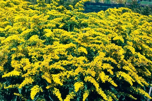 See the rhs top 10 best agm yellow daisies rhs gardening solidago goldenmosa mightylinksfo