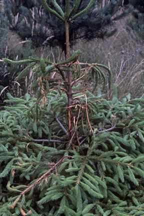Roe deer damage on spruce