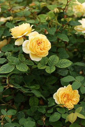 Roses Choosing The Best Rhs Gardening