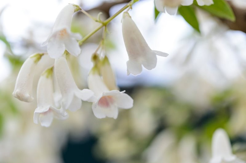 News at the rhs flower show cardiff 2018 rhs gardening will repay you with showers of ivory white tubular blooms in march and april although in mild locations it may grow well on a sunny but sheltered wall mightylinksfo