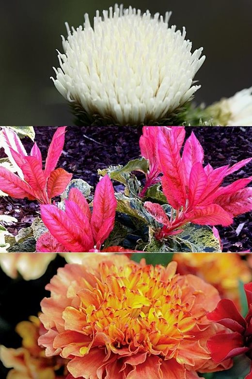 Cirsium Frosted Magic, Photinia Pink Crispy, Tagetes 'Strawberry Blonde'