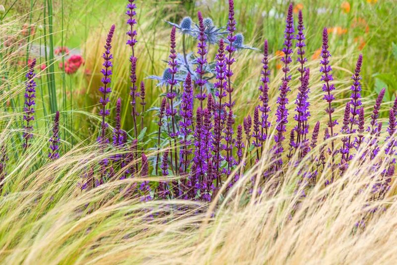 Salvia 'Caradonna' with Stipa tenuissima