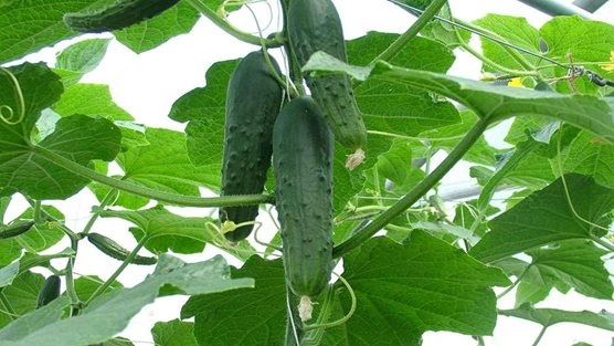 How To Grow Cucumbers Rhs Gardening