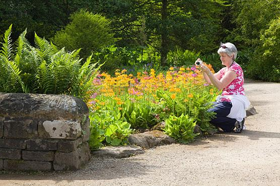 Visitor photographing primulas