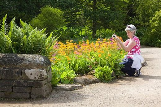 A woman photographs primulas at Harlow Carr