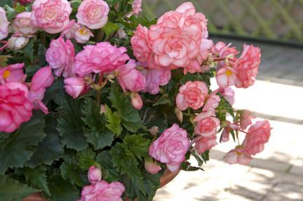 Begonias Houseplants Rhs Gardening