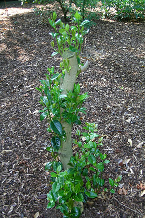 Regrow on a shrub that has had hard, renovation pruning.