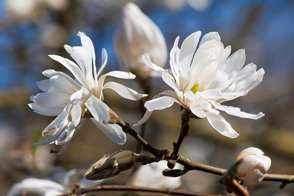 Magnolias For Small Gardens Rhs Gardening