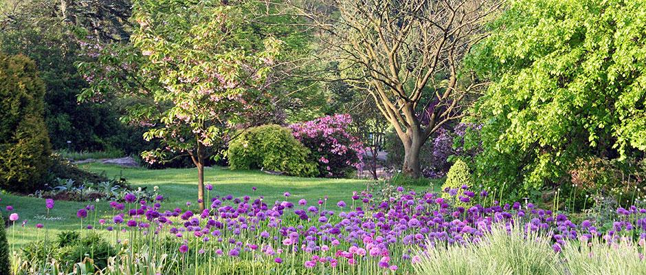 Alliums on the Main Borders