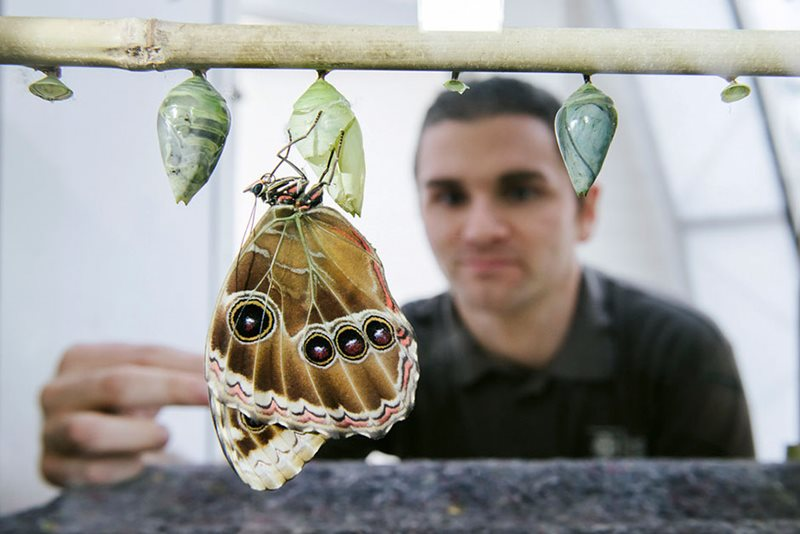 Man looking at butterfly larvae