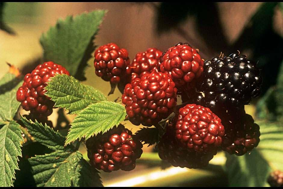 RHS  Grow Your Own - Blackberries