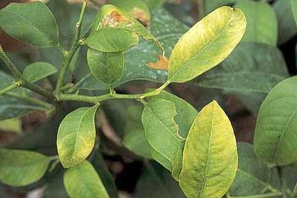 Meyer Lemon Tree Diseases Pictures