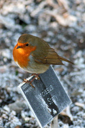 Robin in winter. Image: RHS Advisory
