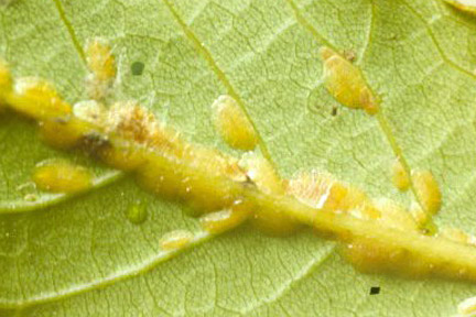 Scale insects on bay. Image: RHS, Horticultural Science