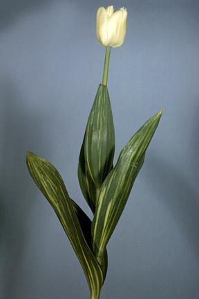 Tulip infected with a virus. Image: RHS, Horticultural Science