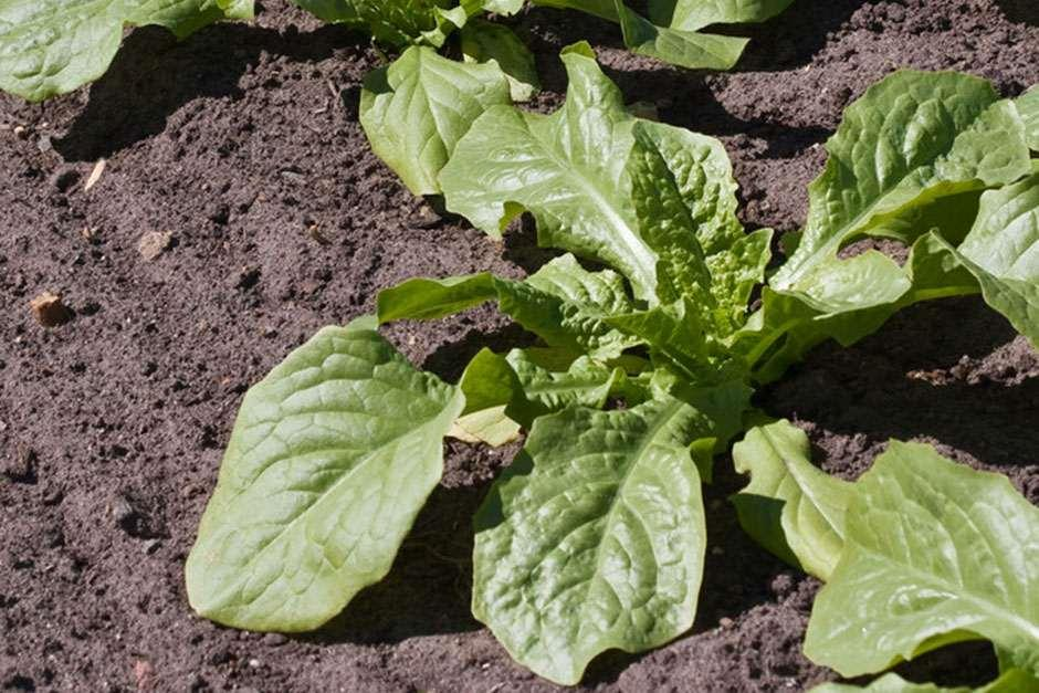 RHS Grow Your Own  - Celtuce