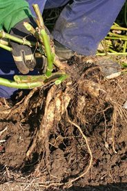 Digging up dahlia tubers