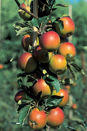 Heavy crops follow light crops when apples get into a pattern of biennial bearing. Image: RHS