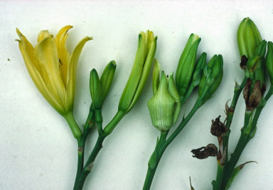 Galled buds on the centre and right flower stems, the left stem has normal buds.