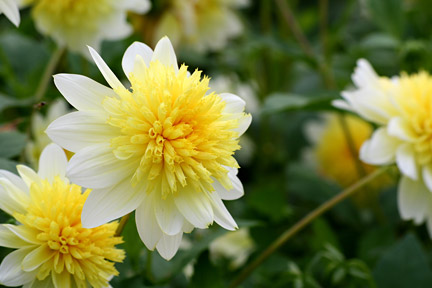 Dahlia ' Freya's Paso Doble' (Anemone-flowered)