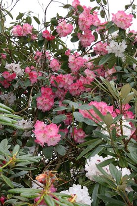 Rhododendron 'Thomasine' (pink)