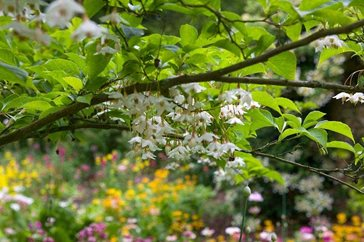 Rhs experts 39 top tips for small garden trees nymans for Small garden trees rhs
