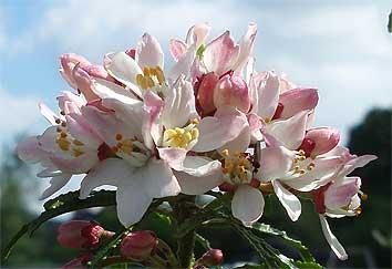 Choisya Apple Blossom ('Pmoore09'