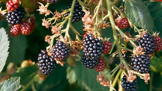 Transplant mature blackberrys — photo 15