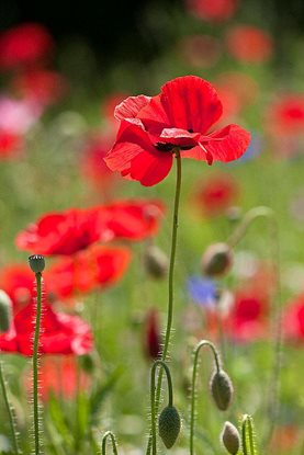 How to grow papaver rhoeas