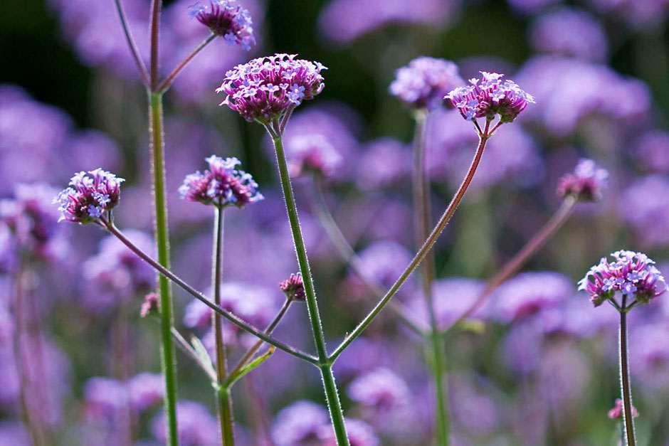 Plants for kids - verbena bonariensis / RHS Gardening