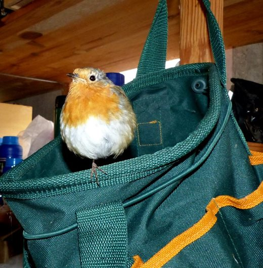The robin sitting on its favourite bag