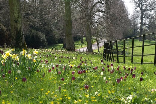Fritillaries at Kelmarsh Hall