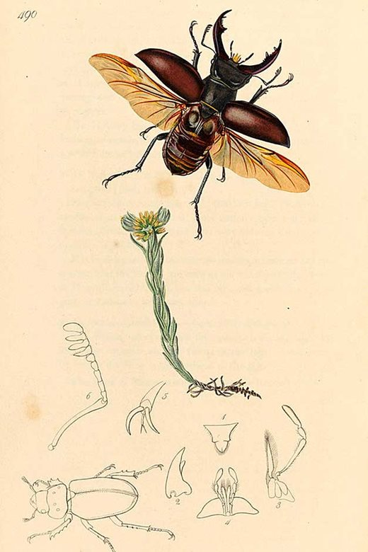 The stag beetle image (Lucanus cervus) is from British entomology by John Curtis, published 1823-1840.