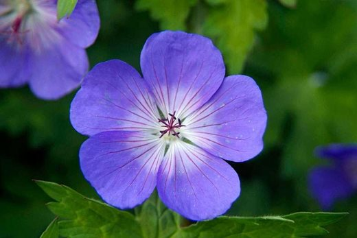 Click to enlarge: Geranium Rozanne
