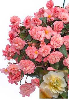 Begonia Sweet Spice English Rose ('Kerbespiros') and Sweet Spice Citrus ('Kerbespicit')