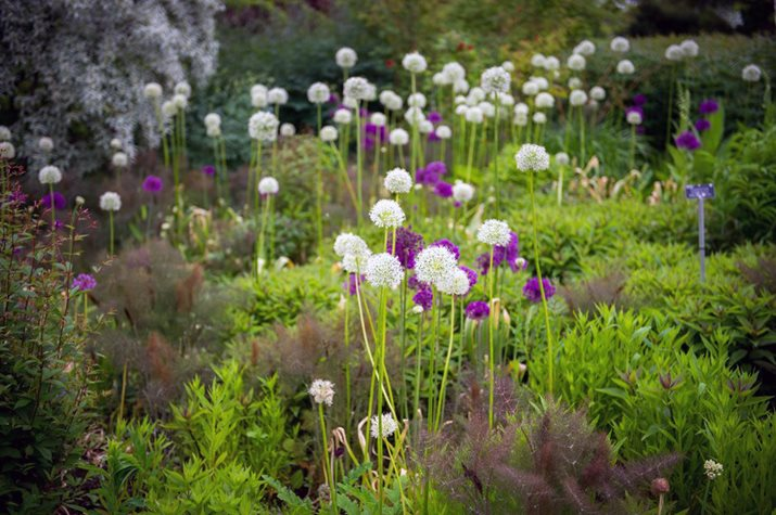 Allium hollandicum 'Purple Sensation' and Allium stipitatum 'Mount Everest'