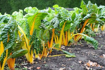 Grow Your Own Colourful Chard In A Pot Rhs Gardening