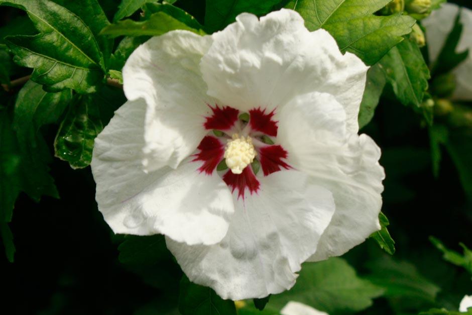 Rhs Garden Rosemoor Blog August Plant Of The Month Rhs Gardening