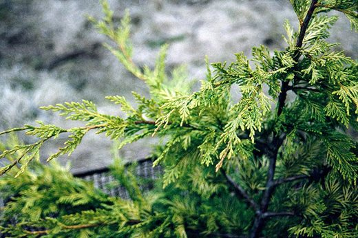 expert rhs advice tips on small conifers by graham rice. Black Bedroom Furniture Sets. Home Design Ideas