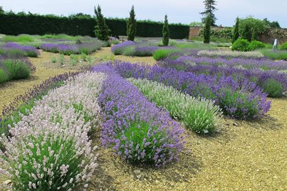 Lavender at Downderry Nursery