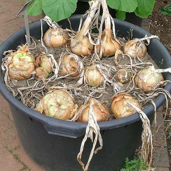 container onions