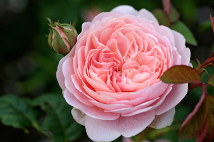 Rose Problems Frequently Asked Questions Rhs Gardening