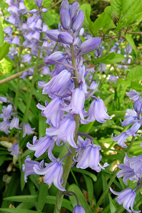 Spanish bluebells can become a weed problem. Credit: RHS/Advisory.