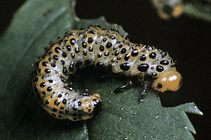 Larvae of large rose sawfly. Image: RHS, Horticultural Science